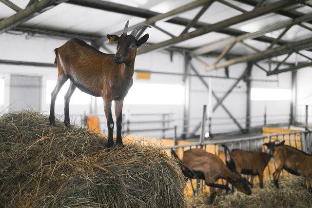 agua potable en granjas de cabras