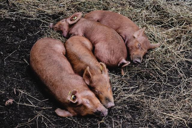 agua potable en granjas porcinas