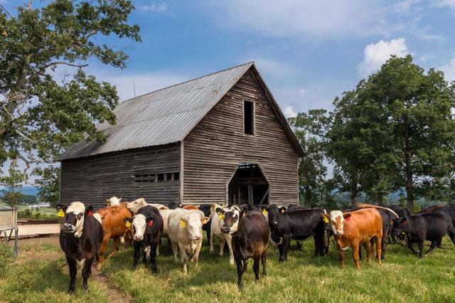 agua potable en granjas de vacas